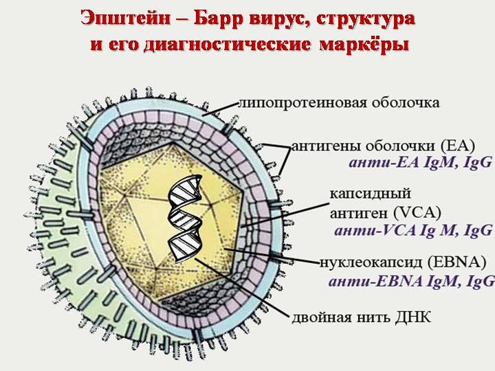 Вирус Эпштейн БАРР фото